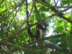 Jaguar San Jose >> Campeche, Calakmul, Biosfera de Calakmul